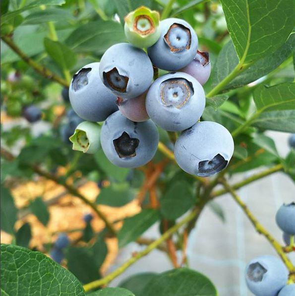 【青梅】夏のフルーツ狩りにおすすめ!スモールフルーツランド『ベリーコテージ』